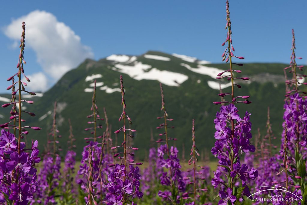 Fireweed and mountains. © Daniel Rosengren