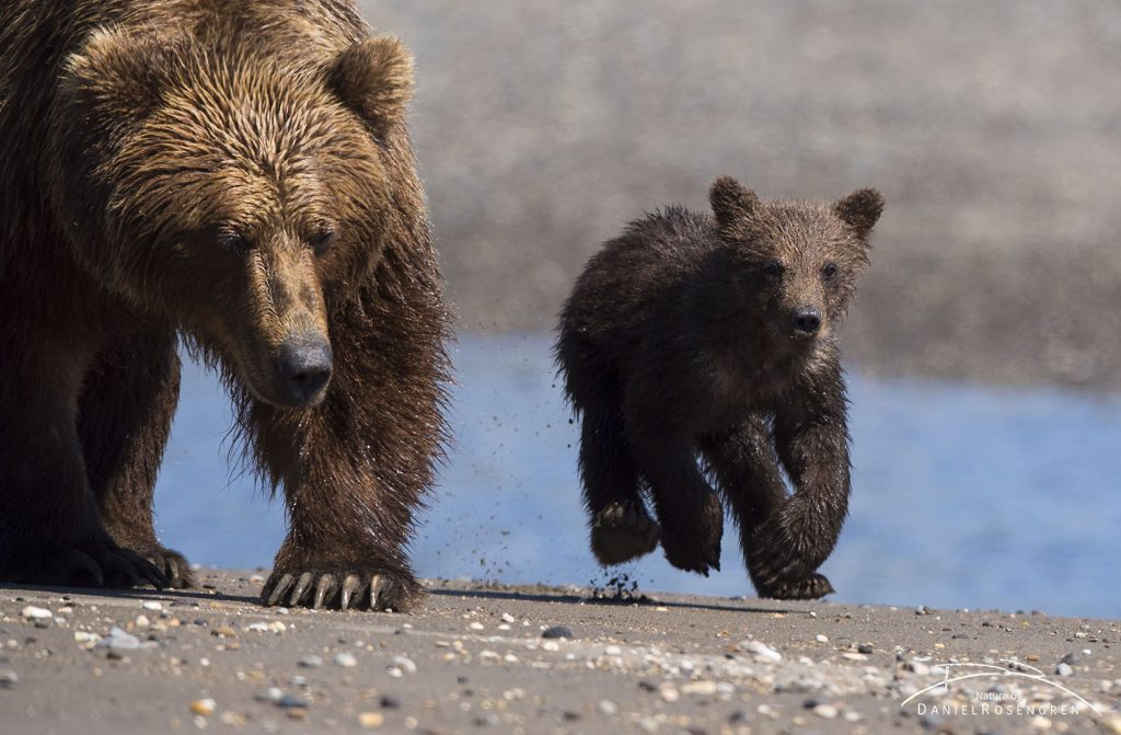 My first encounter, a mother with cubs coming right towards me, just meters away. © Daniel Rosengren