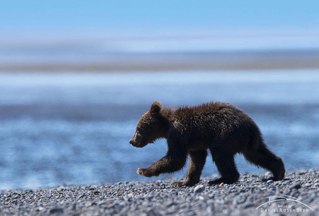 A Grizzly cub. © Daniel Rosengren