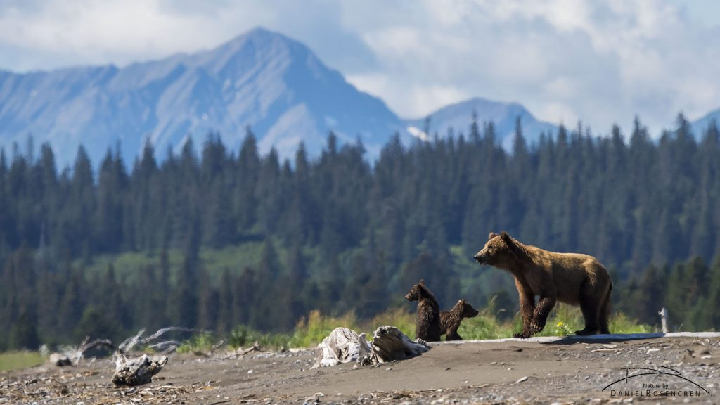 A bear family in a stunning landscape. © Daniel Rosengren