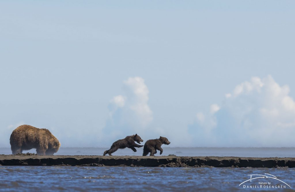 Grizzly cubs playing while mum is clamming. © Daniel Rosengren