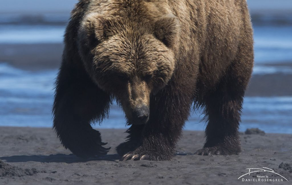 A Grizzly bear searching for clams at low tide. © Daniel Rosengren