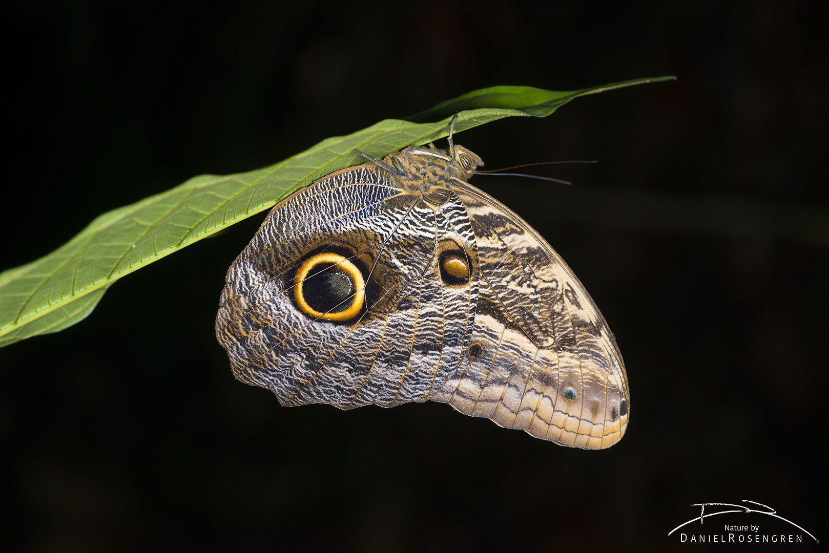 An Owl moth in Yaguas. © Daniel Rosengren