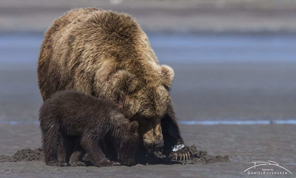 A Grizzly female with a clam carefully placed on her paw. © Daniel Rosengren