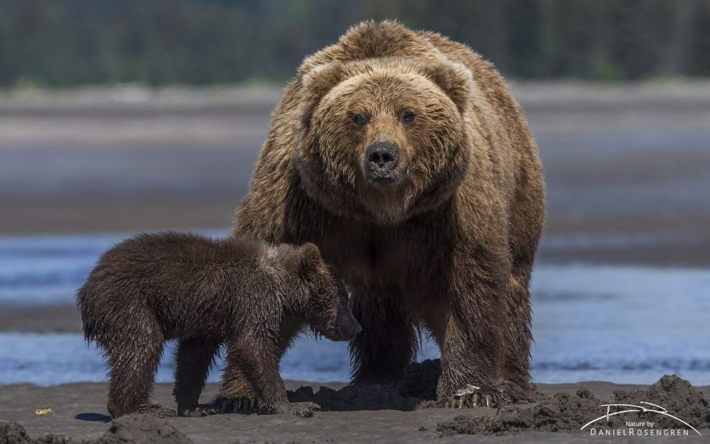 A Grizzly mother with cub. © Daniel Rosengren