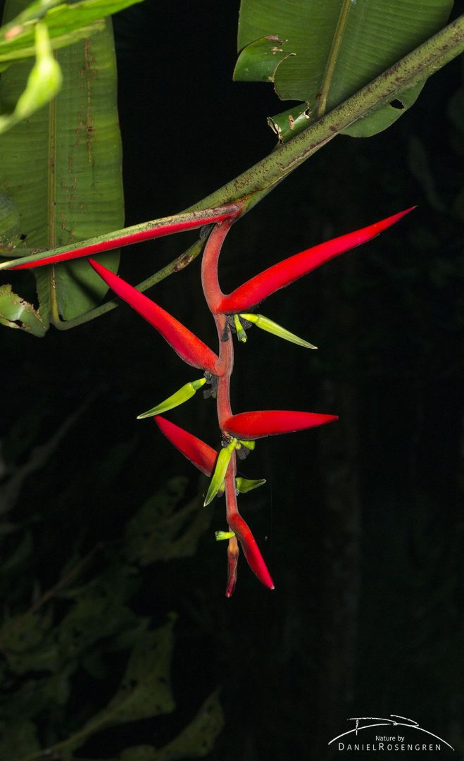 Heliconia sp. flowering in the Yaguas. © Daniel Rosengren
