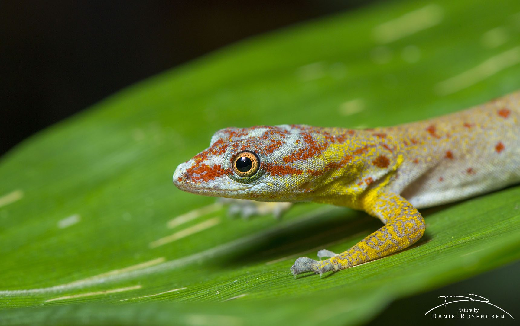 A Dwarf Gecko in Yaguas, famous for its ability to walk on the water tension. © Daniel Rosengren