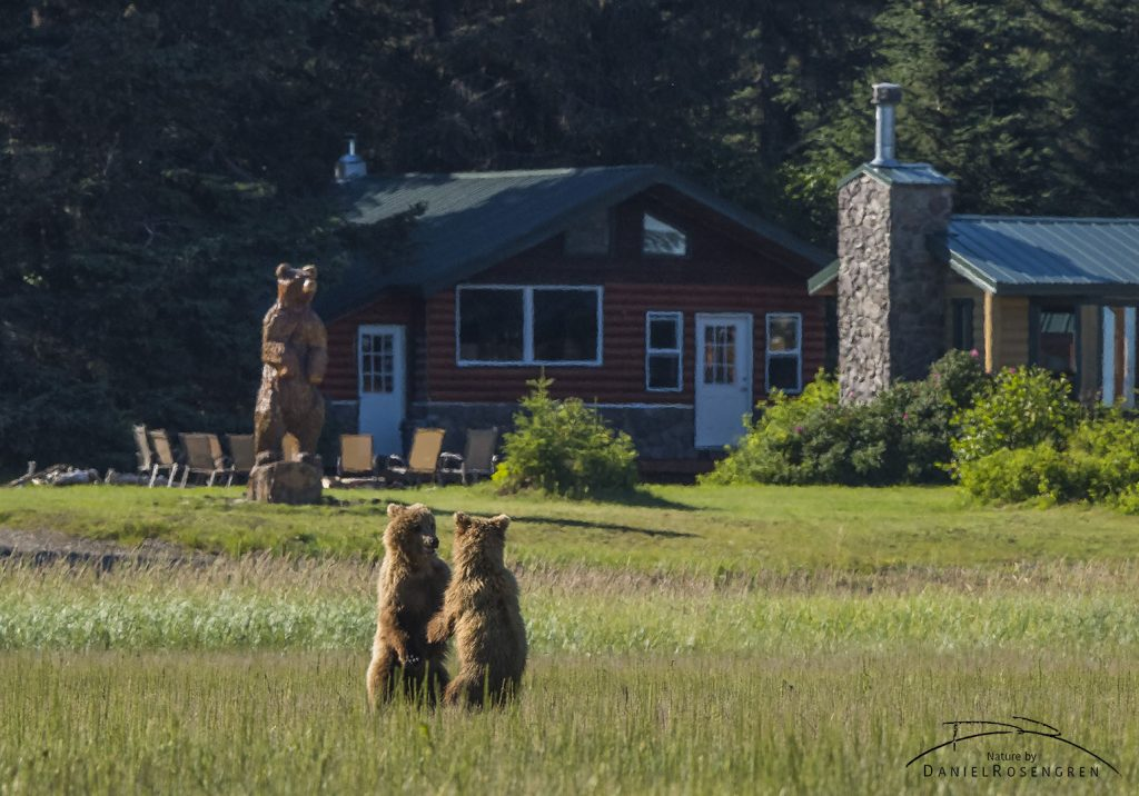 Two Grizzly bears in front of a wooden copy by the Silver Salmon Creek Lodge. © Daniel Rosengren