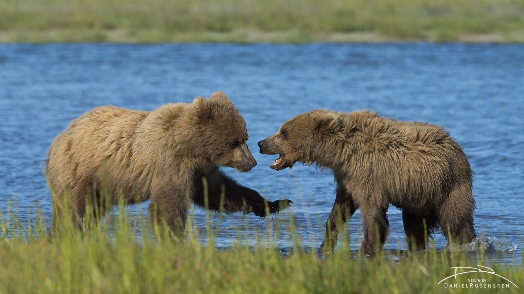 Grizzly siblings. © Daniel Rosengren