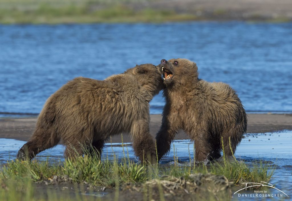 Grizzly siblings play fighting. © Daniel Rosengren