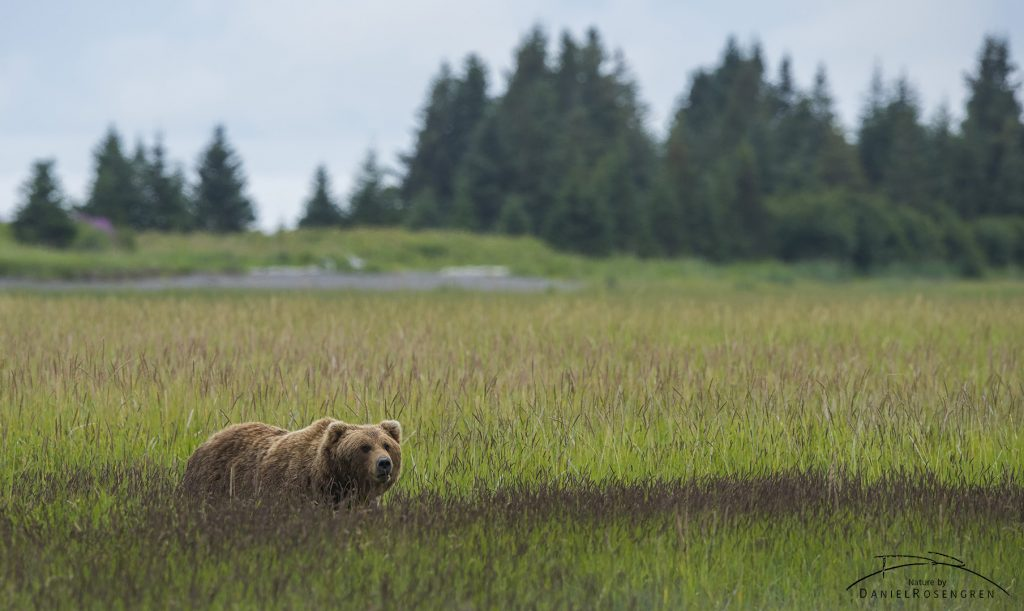 A bear moving back from clamming to the woods. © Daniel Rosengren