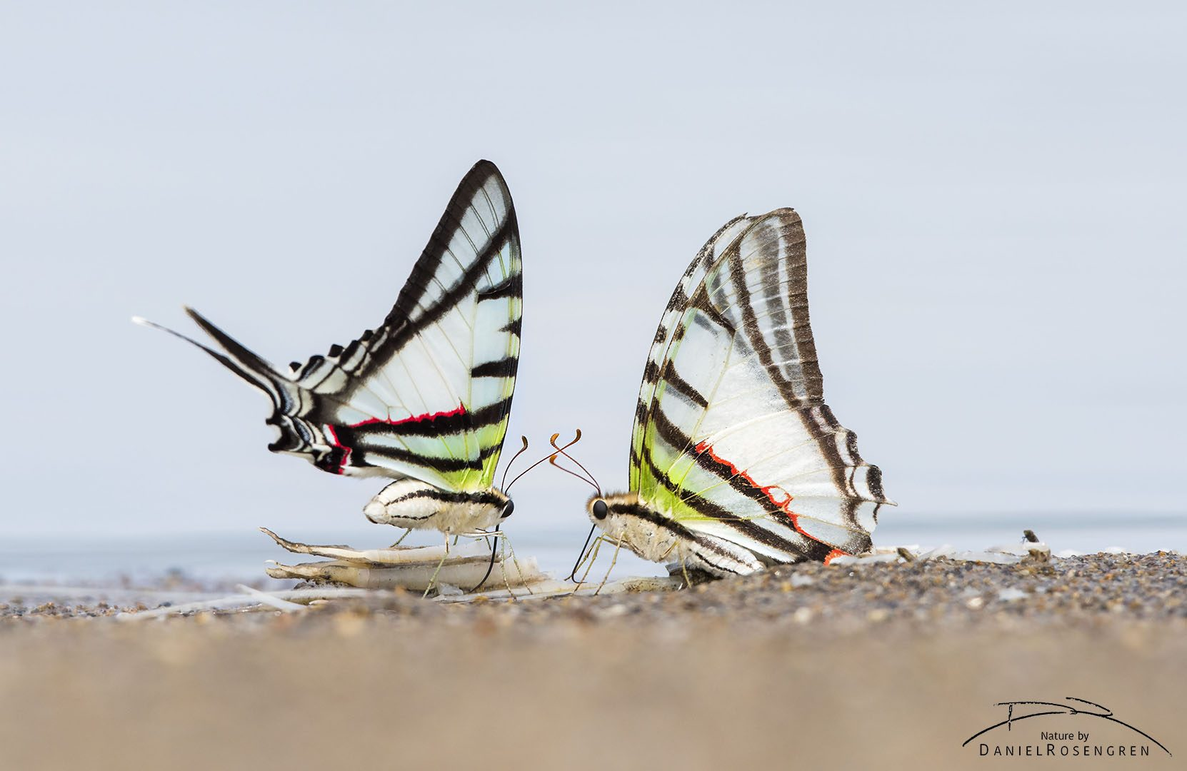 Two butterflies licking minerals from fish leftovers near Yaguas, Peru. © Daniel Rosengren