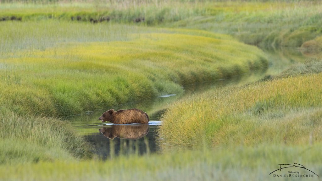 A Grizzly bear in a mirror like stream. © Daniel Rosengren