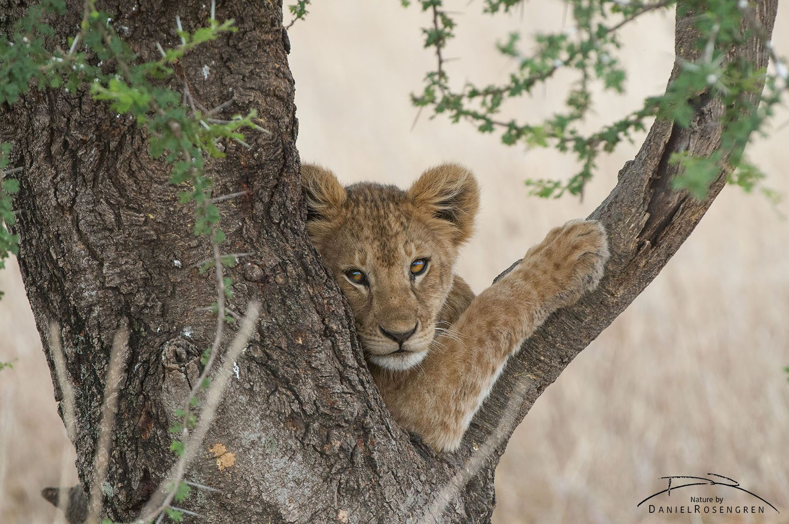 A lion cub posing in a tree.  © Daniel Rosengren