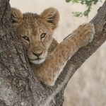 _DSC0623_Lion_cub_in_tree