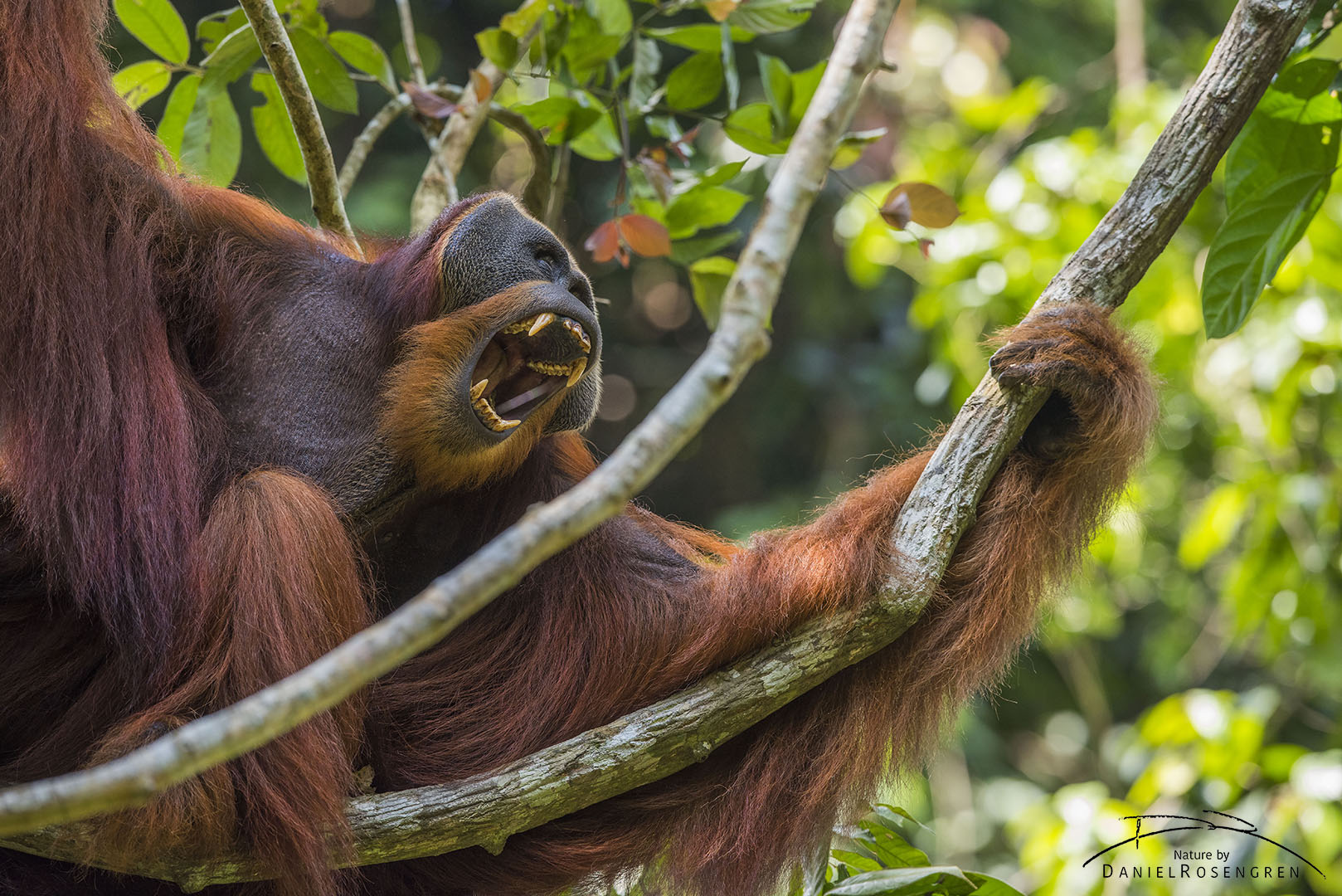 This huge male, Win Gayo, was once a jungle school student and is now one of many successfully re-introduced Orang-utans in Bukit tigapuluh. © Daniel Rosengren