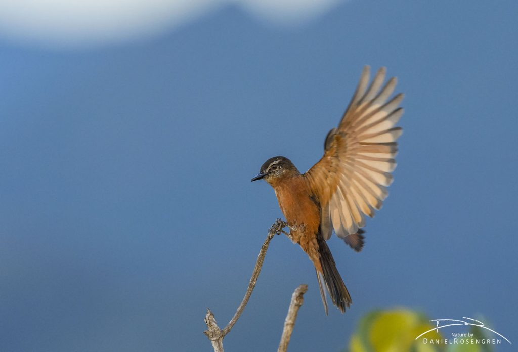 A Cliff Flycatcher landing on a stick. © Daniel Rosengren