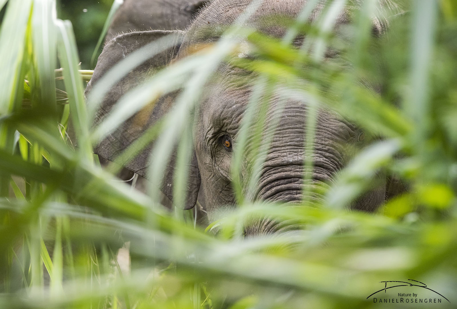 The Sumatran Elephant is the smallest sub-species of the Asian Elephant and is Critically Endangered. © Daniel Rosengren