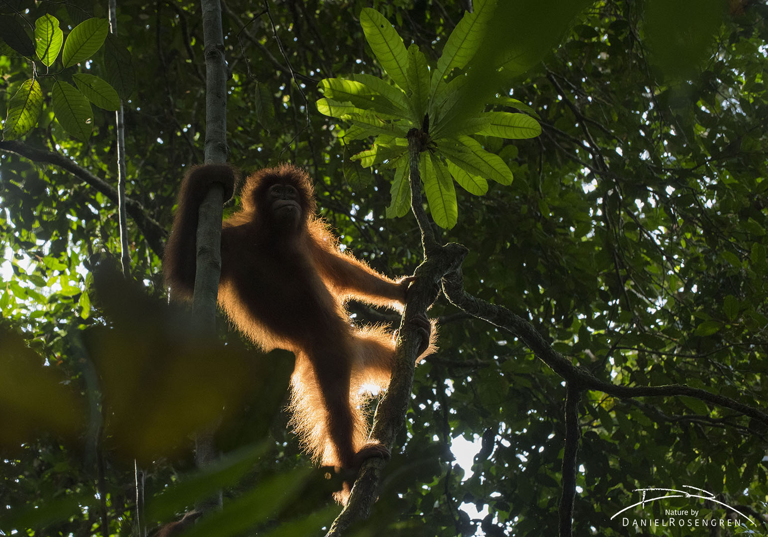 The sun is making the hairs of this Orang-utan to glow. © Daniel Rosengren