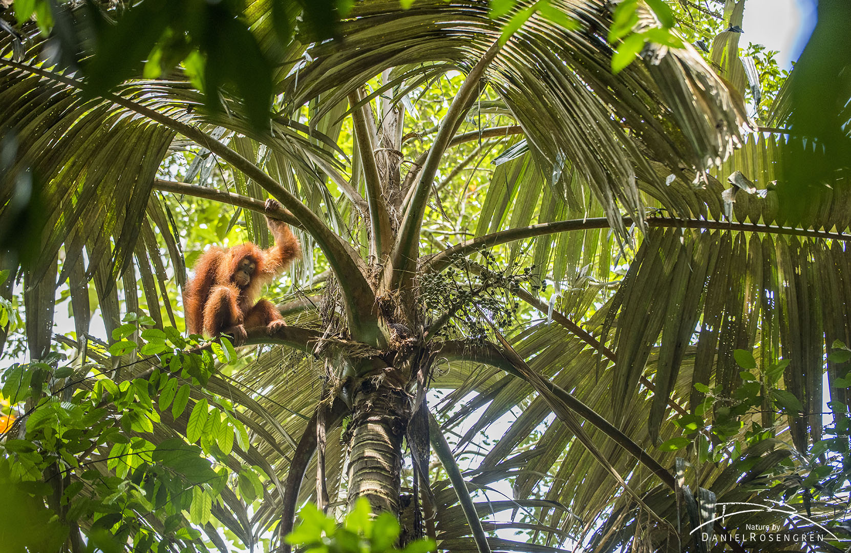An Orang-utan in a palm tree on Sumatra. © Daniel Rosengren