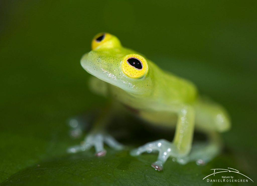 A glass frog in Kanuku Mountains. © Daniel Rosengren