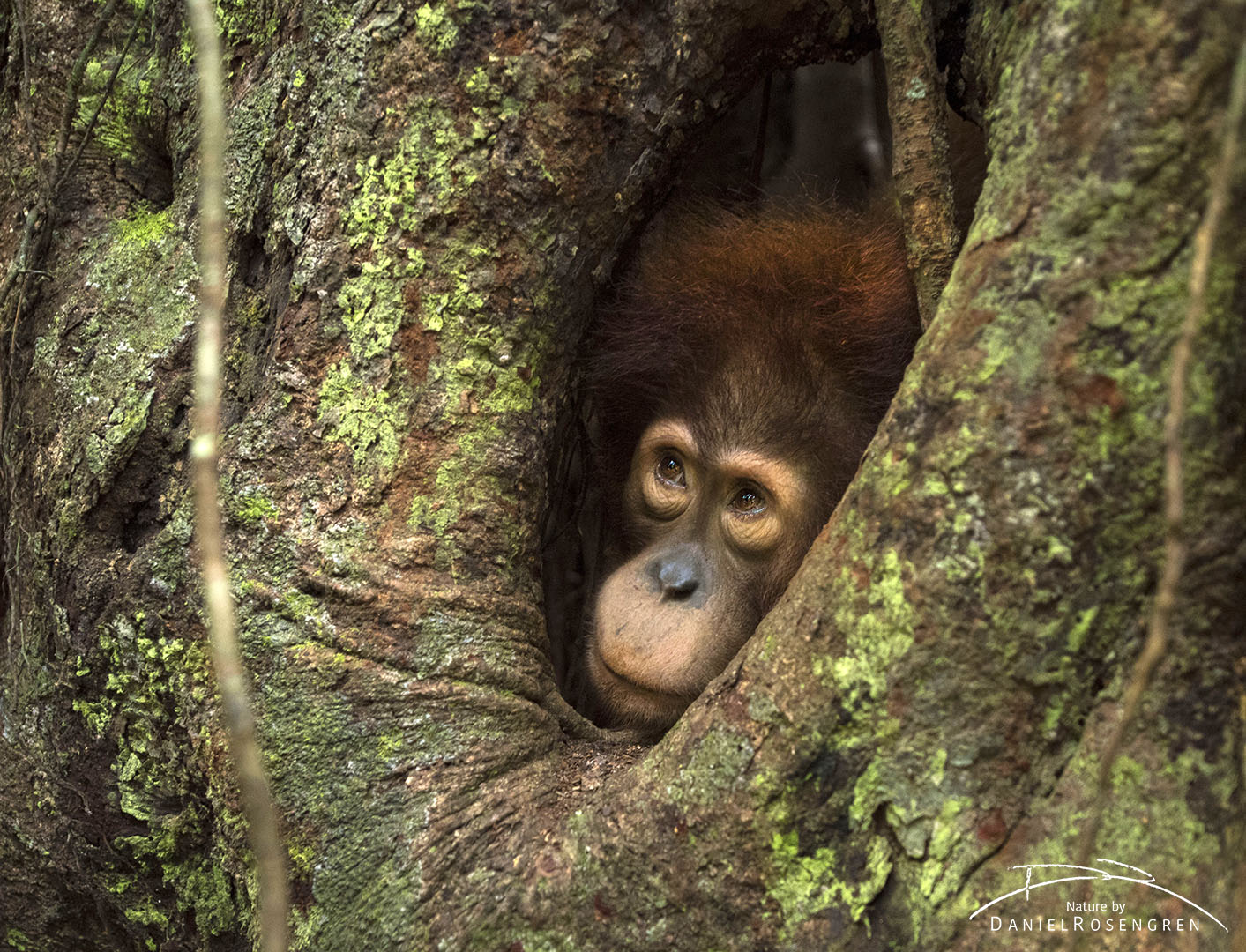 A strangler fig is a great play-ground for a young Orang-utan. © Daniel Rosengren