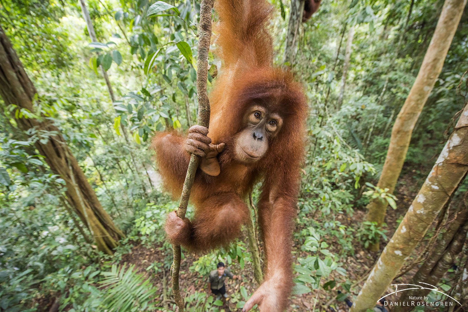 A young Orang-utan out on a limb, her trainer is seen below. © Daniel Rosengren