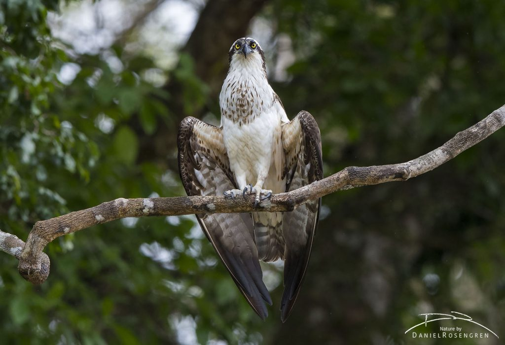 One of many Ospreys seen in Kanuku Mountains. © Daniel Rosengren