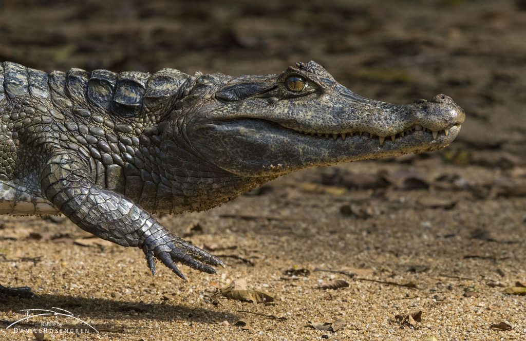 A Spectacled Caiman in Kanuku Mountains. © Daniel Rosengren