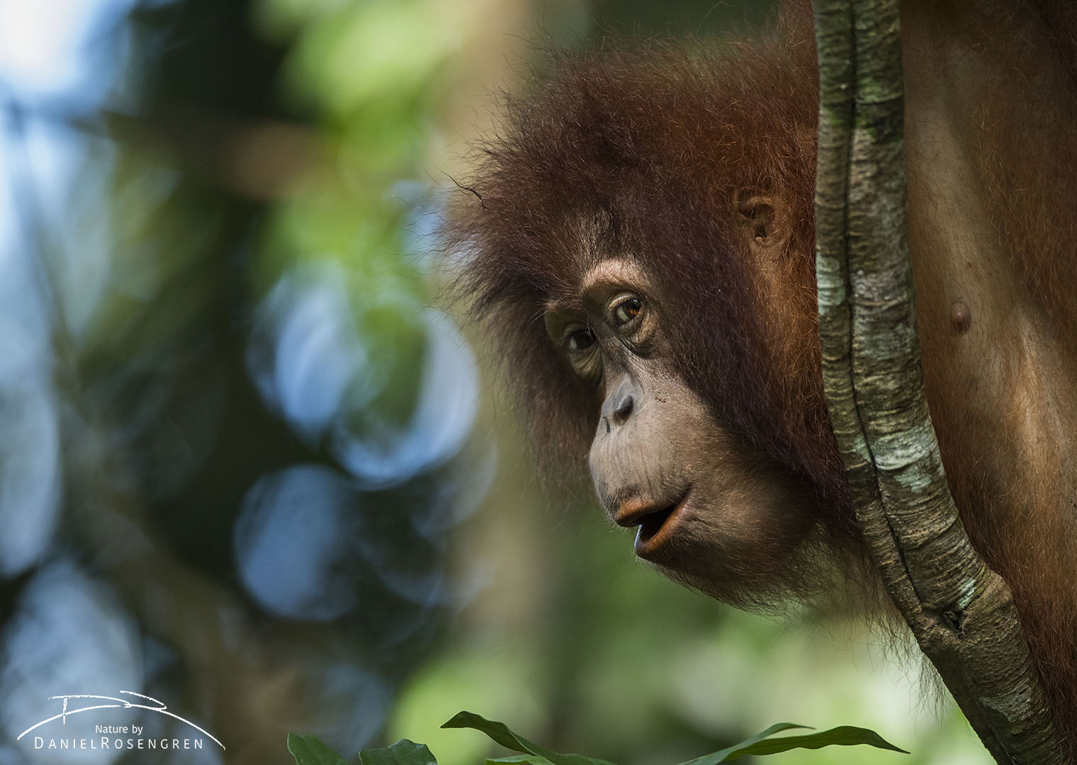 The cheekiest student in jungle school, Suro, always looking for mischief. © Daniel Rosengren