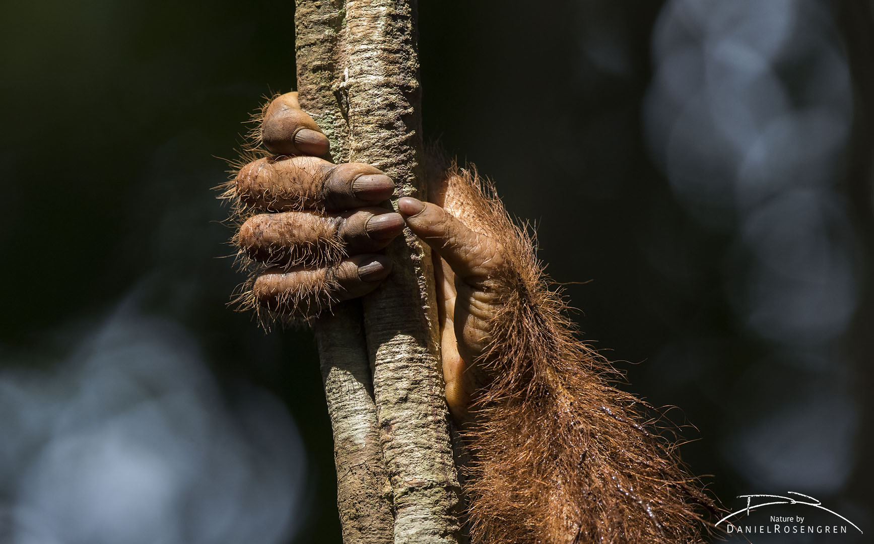 The hand of an orang-utan learning to survive in the wild. © Daniel Rosengren