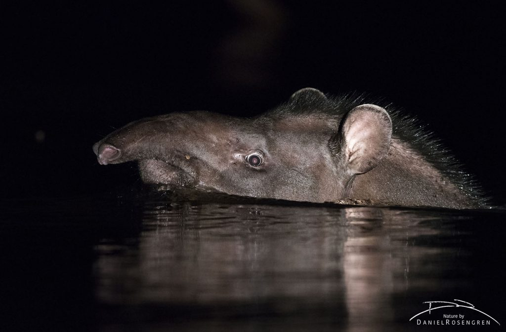 A South American Tapir swimming in the Maparri Creek in the Kanuku Mountains. © Daniel Rosengren