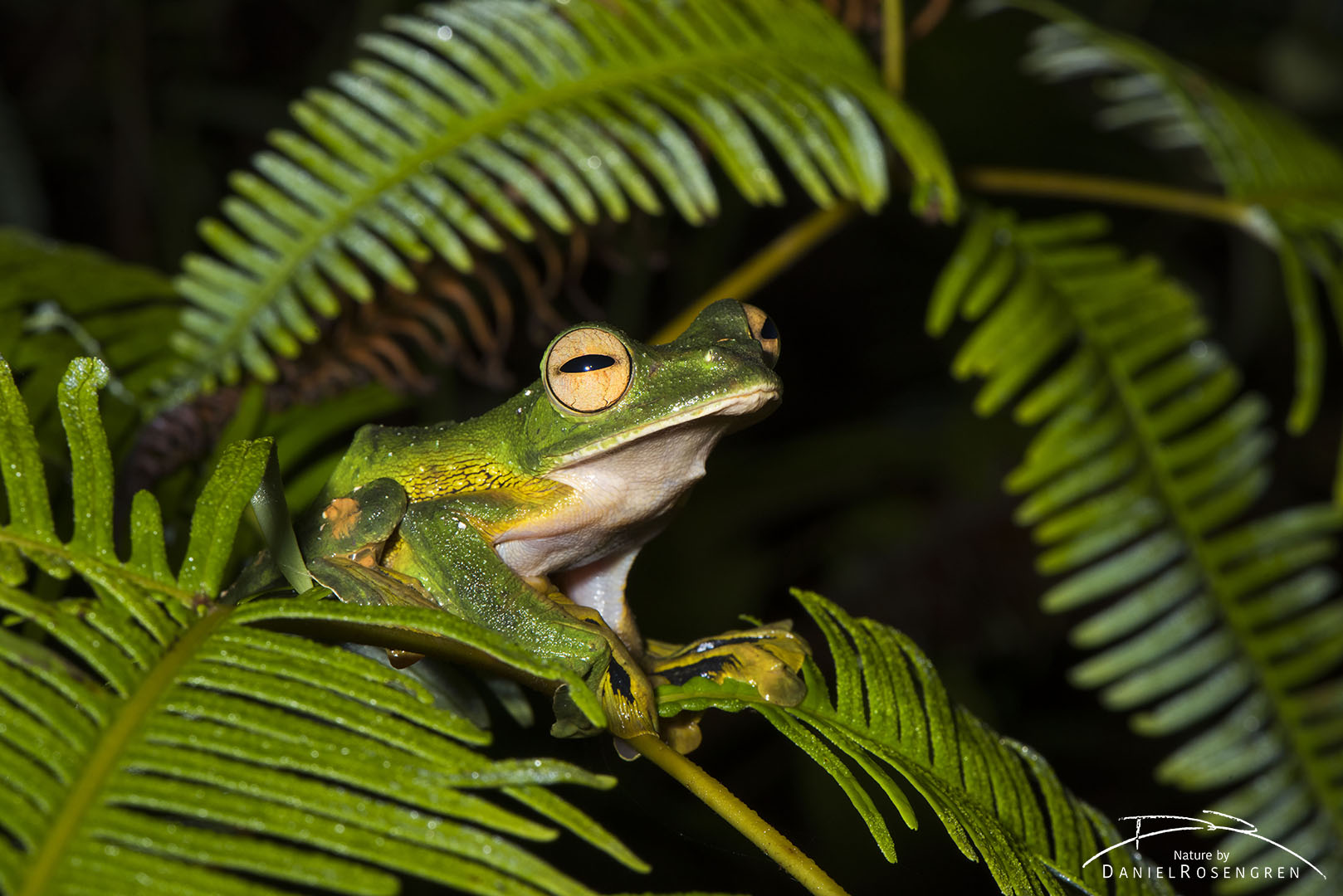 The Flying Frog can't actually fly, but can indeed glide quite well using the webbing between their toes. © Daniel Rosengren