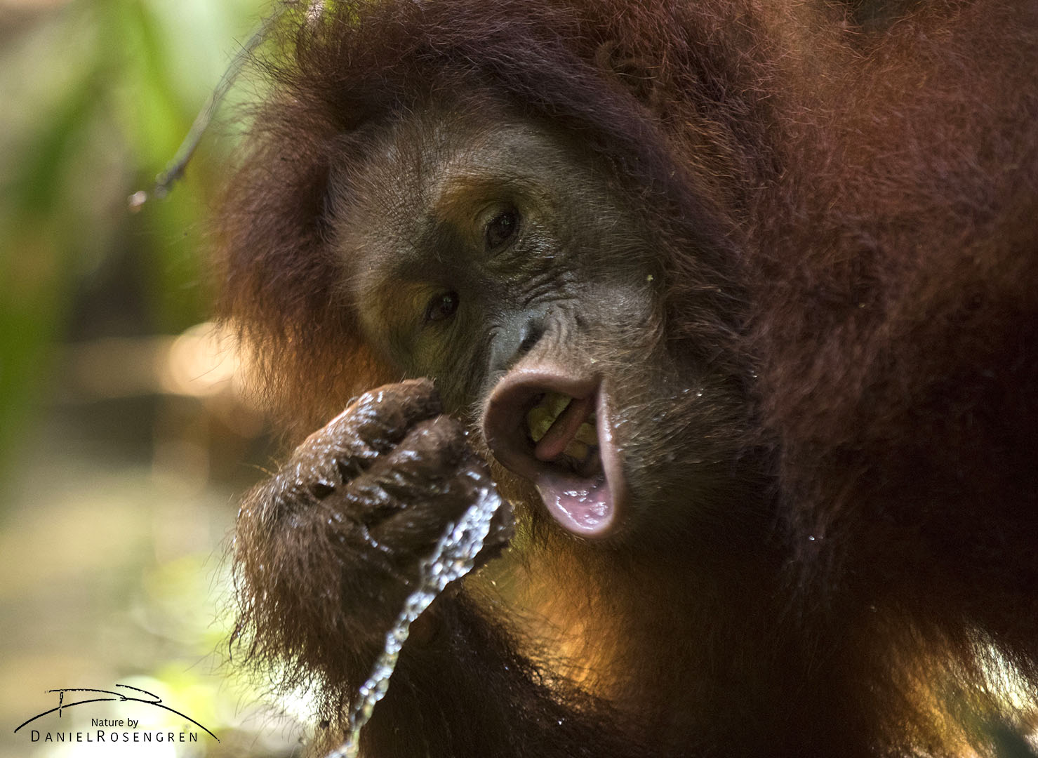 A young Orang-utans drinking water. © Daniel Rosengren