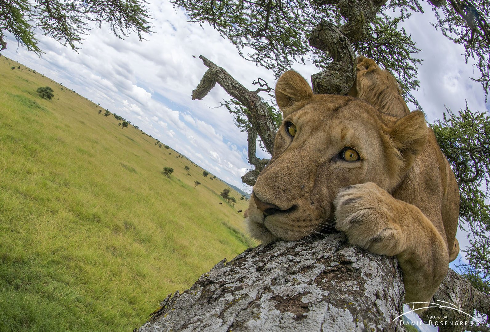 It might appear as if I was lying next to the lion in the tree to get this shot, I'm not. © Daniel Rosengren