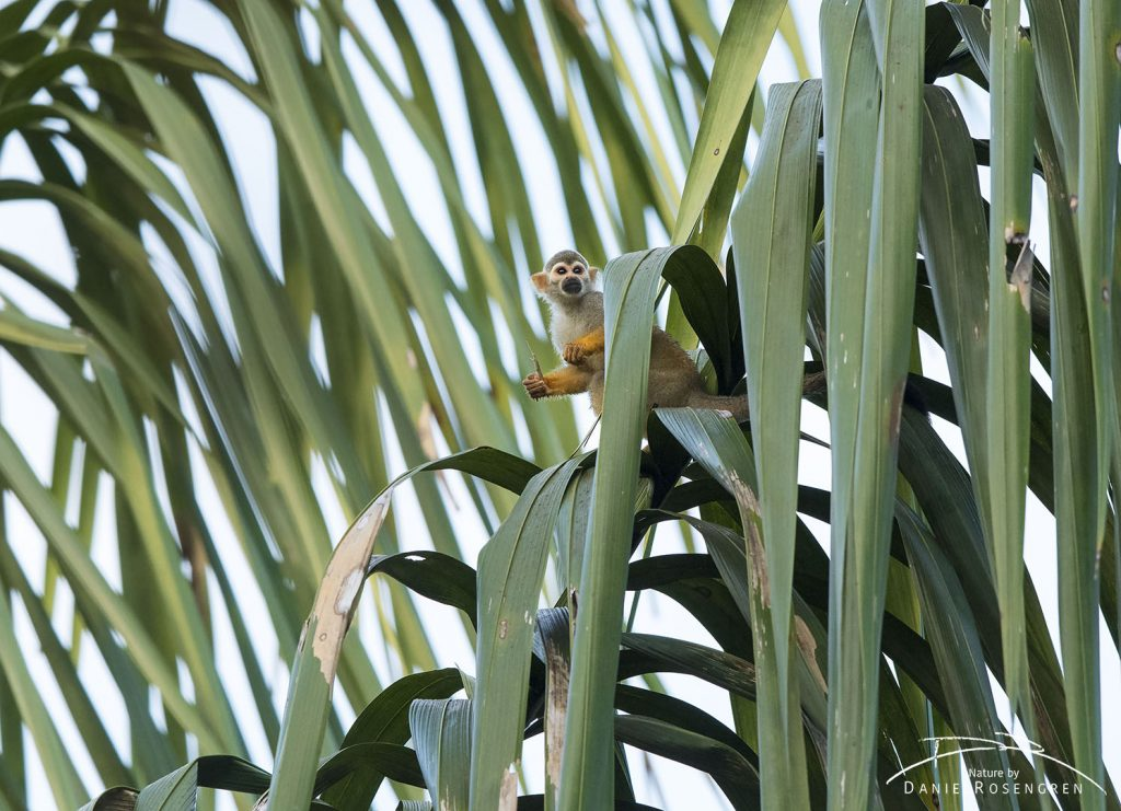 A Squirrel monkey sitting on a palm leaf. © Daniel Rosengren