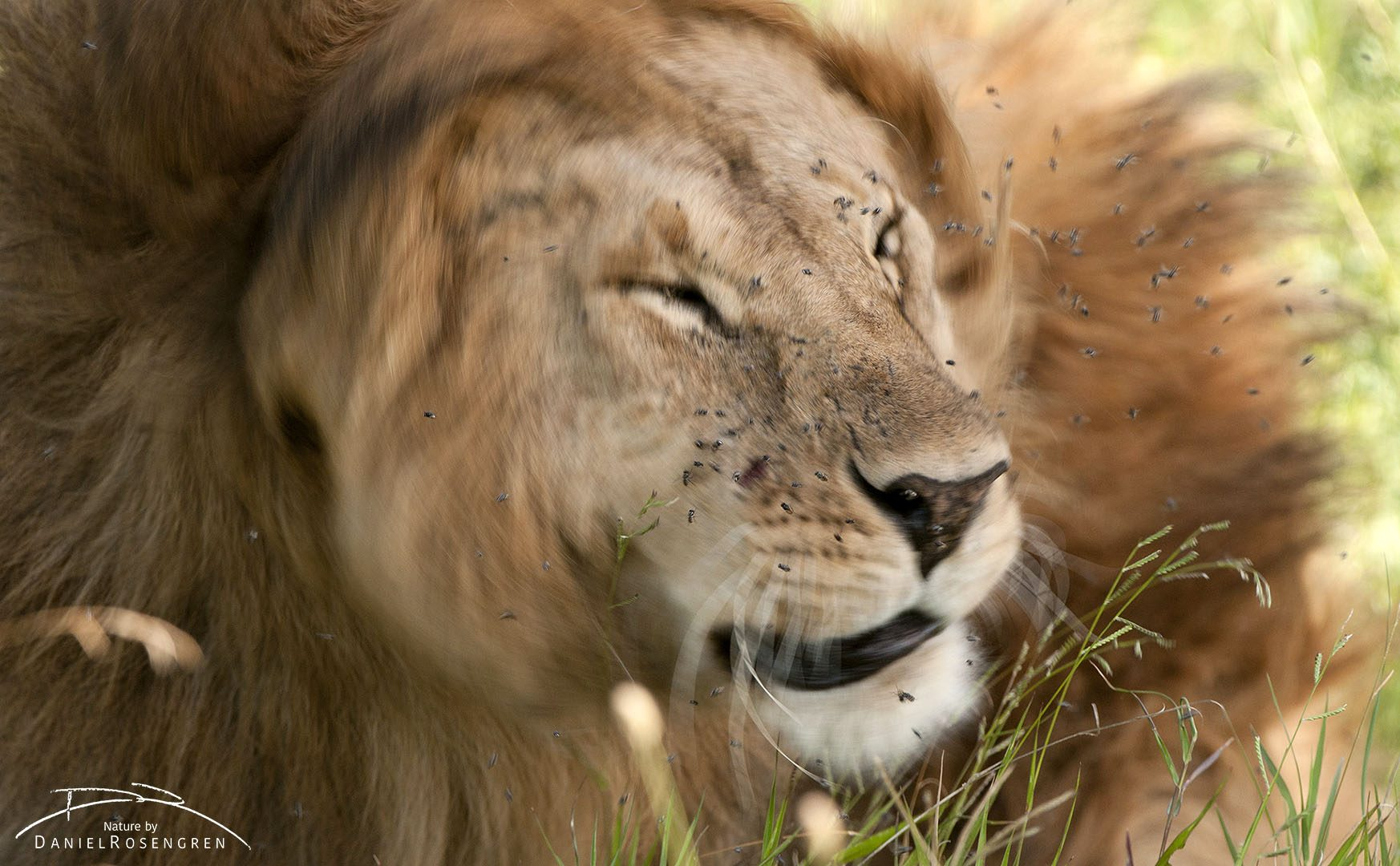 Flies can be very annoying to lions. © Daniel Rosengren