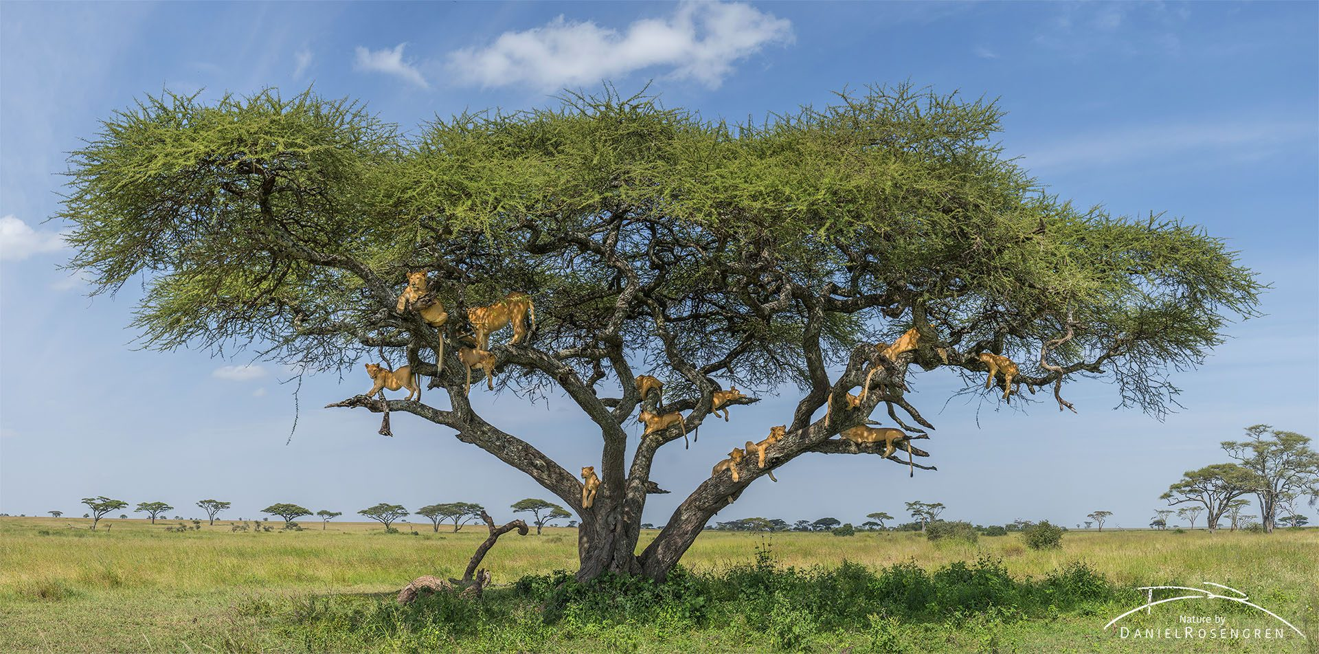 16 lions in an Acacia tree, this photo has been stitched together from four individual photos. © Daniel Rosengren