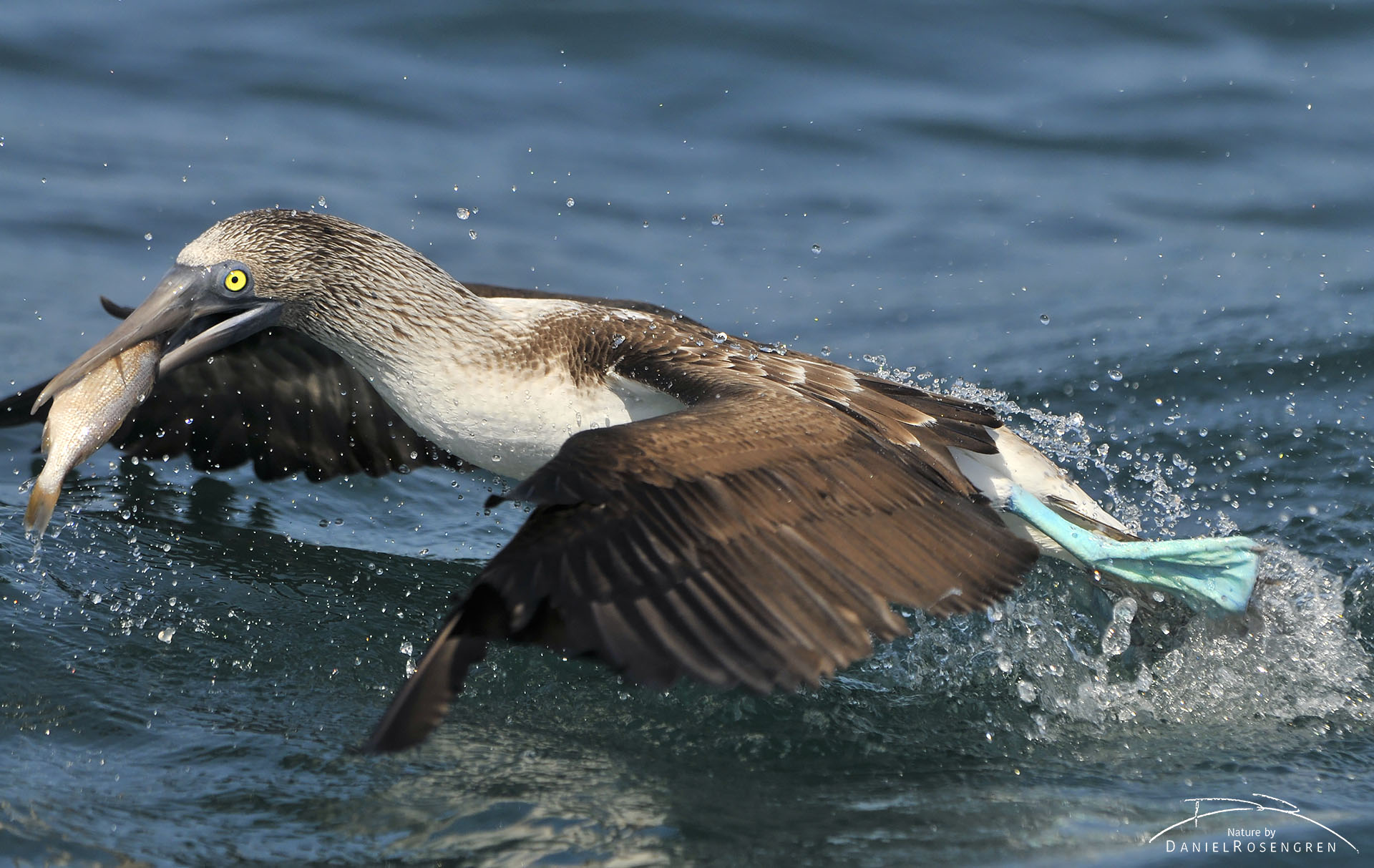 A Blue-footed booby taking off with a fish. © Daniel Rosengren