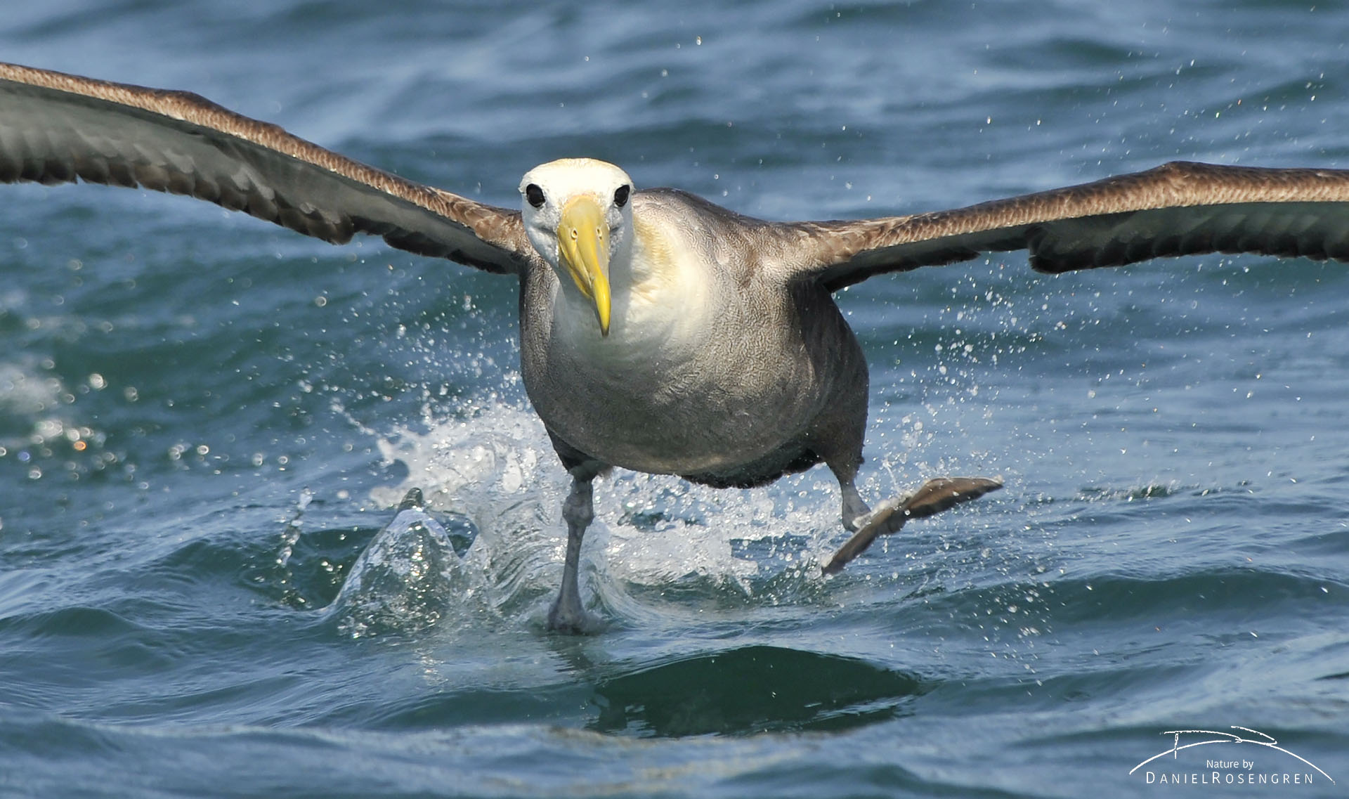 The critically endangered Waved albatross water skiing on the surface as it is landing. © Daniel Rosengren