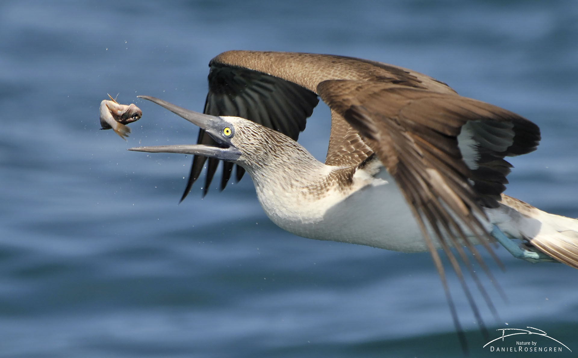 A Blue-footed booby adjusting its grip of the fish by throwing it in the air, mid flight. © Daniel Rosengren