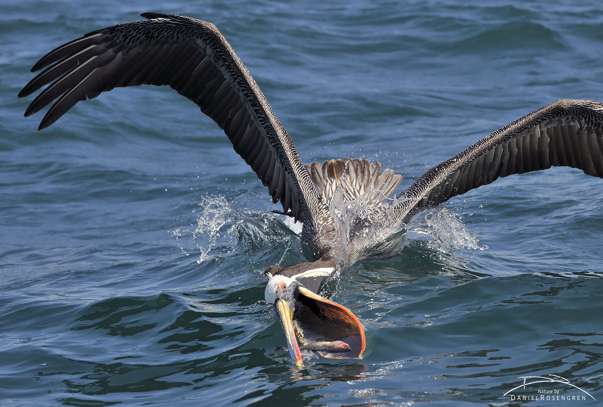 A Peruvian pelican scooping a fish with its massive beak. © Daniel Rosengren