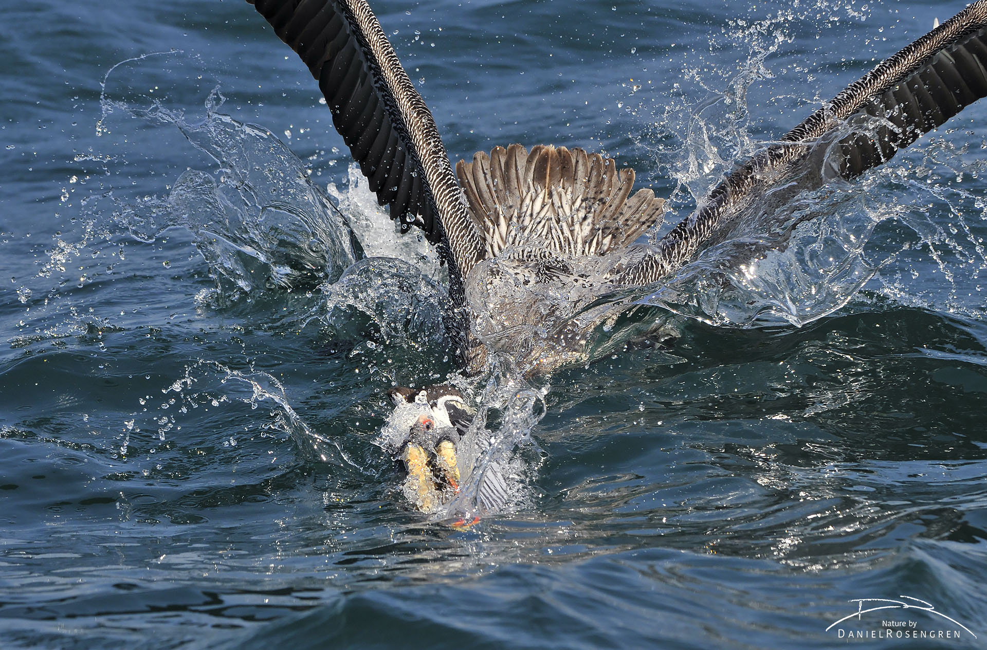 A Peruvian pelican scooping fish with its massive beak. © Daniel Rosengren