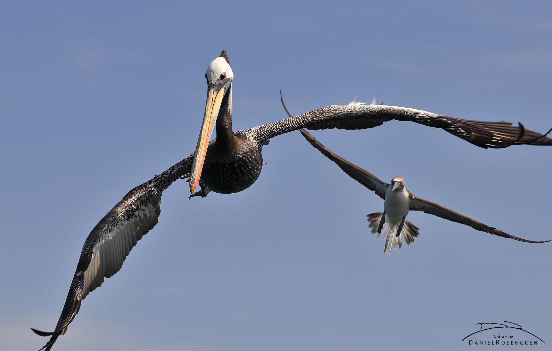 A Peruvian pelican arriving at the feeding frenzy. © Daniel Rosengren