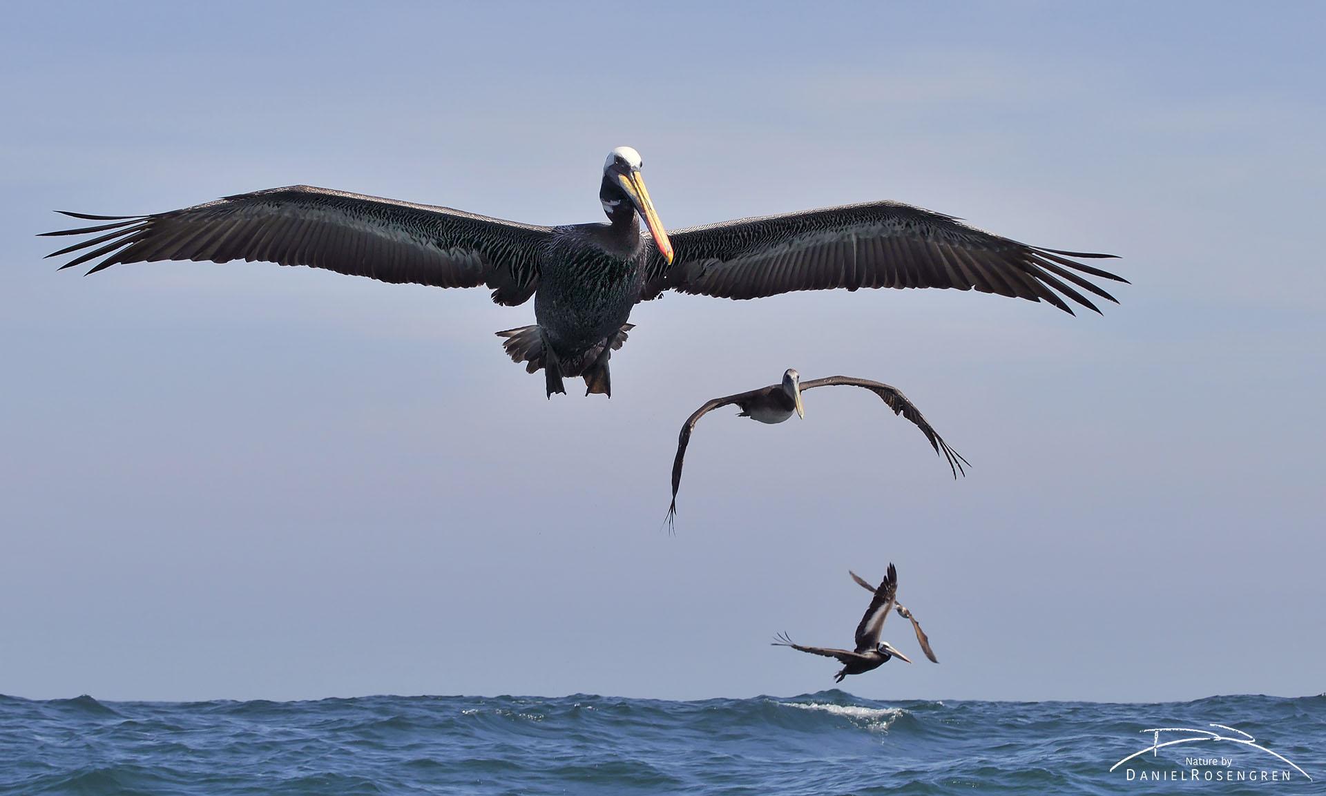 Peruvian pelicans arriving at the feeding frenzy. © Daniel Rosengren