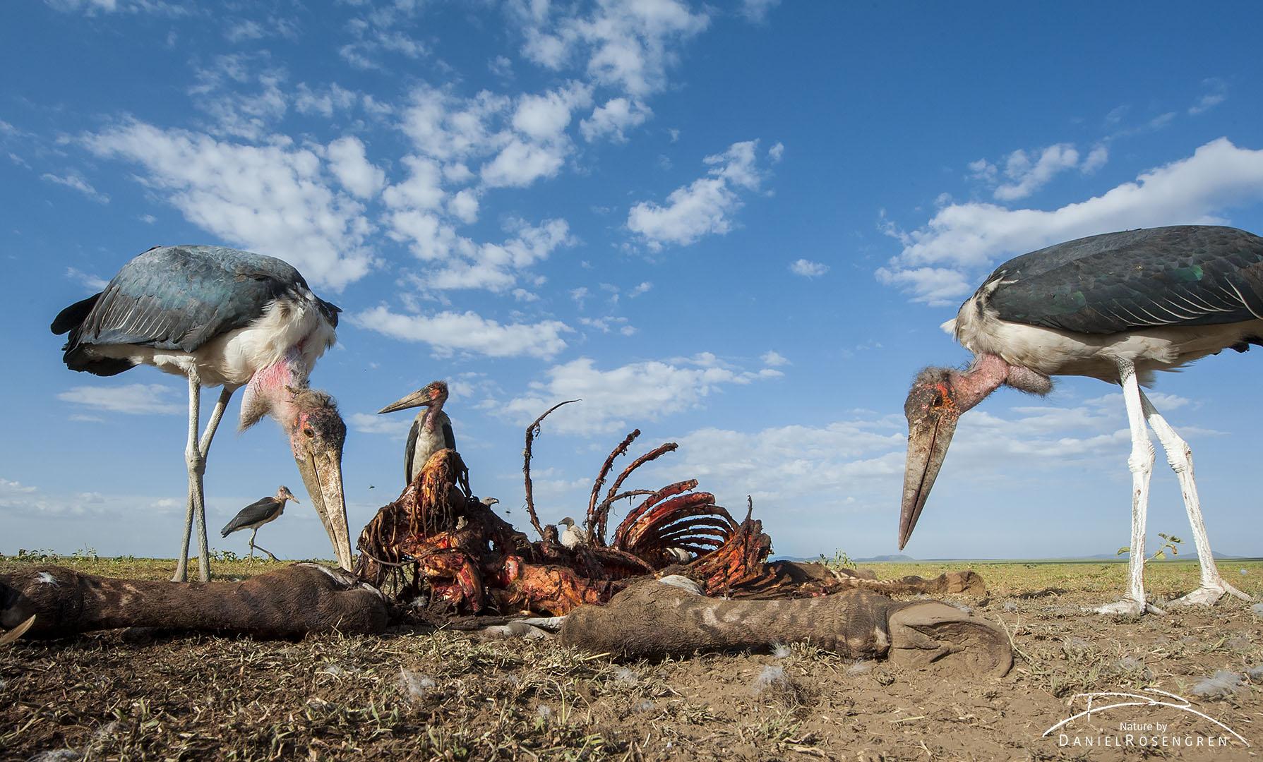 Marabou storks at a zebra carcass. © Daniel Rosengren