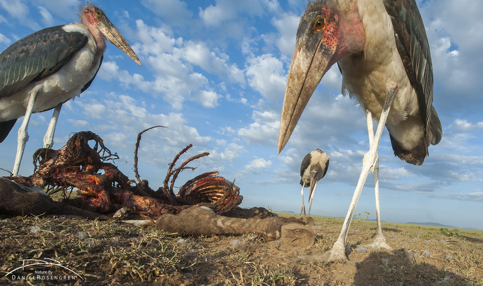 A Marabou stork towering over the camera. © Daniel Rosengren