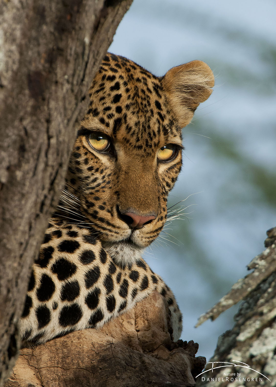 A young female leopard in a tree in Serengeti NP, Tanzania. © Daniel rosengren