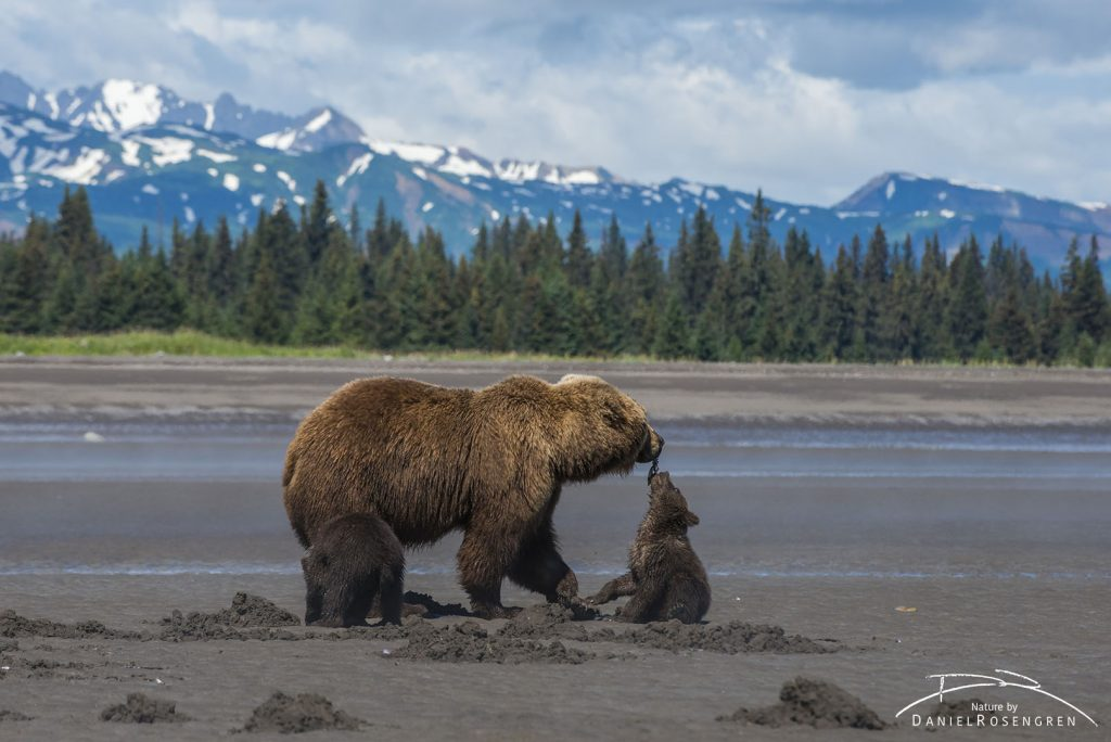 Mother and cub Grizzlies sharing a clam. © Daniel Rosengren
