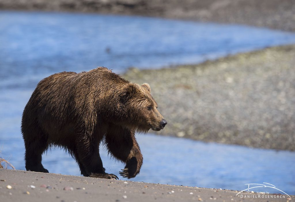 A Grizzly on the way out clamming. © Daniel Rosengren